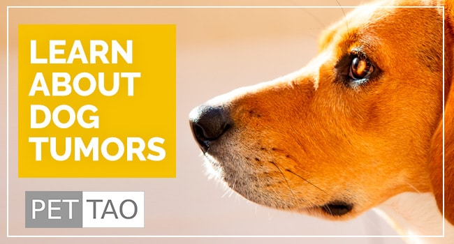 photo for: What are Common Dog Tumors?