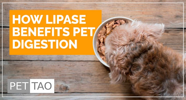 Image for How Lipase Benefits Pet Digestion