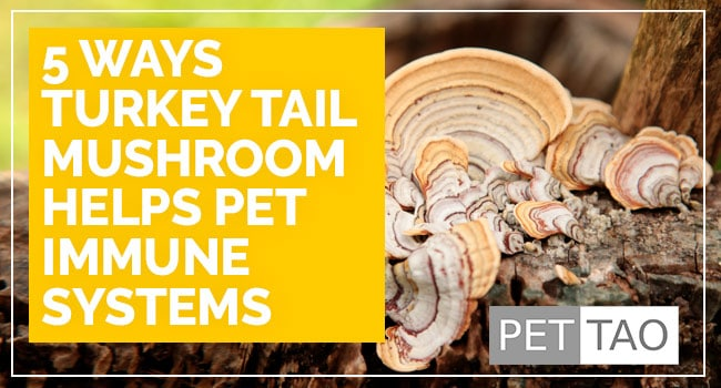 5 Ways Turkey Tail Mushroom Helps Pet Immune Systems