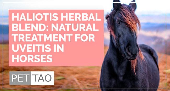 Haliotis Herbal Blend: Natural Treatment for Uveitis in Horses