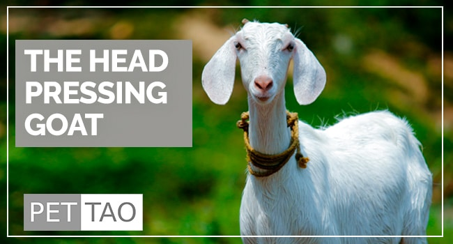 The Secret of the Goat Head Press