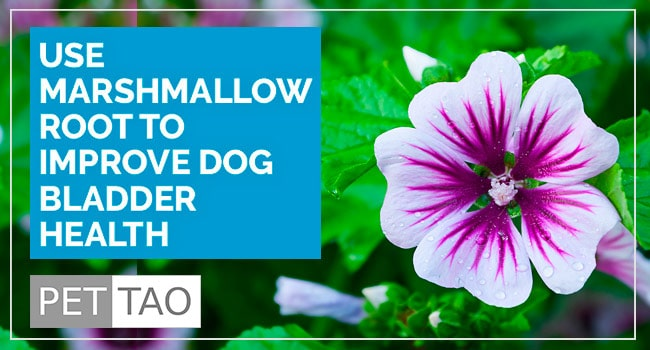 Use Marshmallow Root to Improve Dog Bladder Health