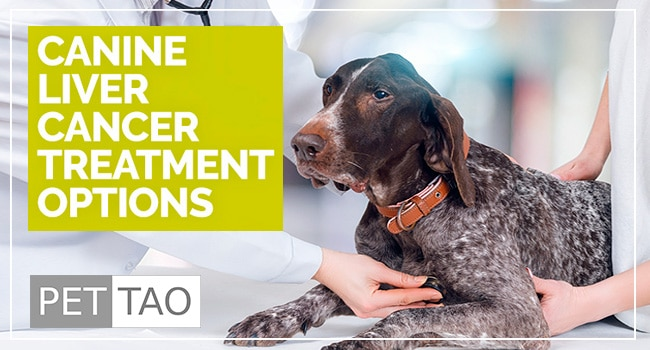 Image for The Most Common Dog Liver Cancer Treatments