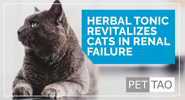 Rehmannia 6 Herbal Tonic Revitalizes Cats with Kidney Failure